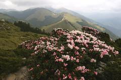玉山杜鵑&高山杜鵑擁有錦簇的花容,雄據坡面的開花景象映照 著遠方的山巒,令人一見難忘,它的盛開也代表著春臨台灣高海拔山區。 攝影:蔡桉浩