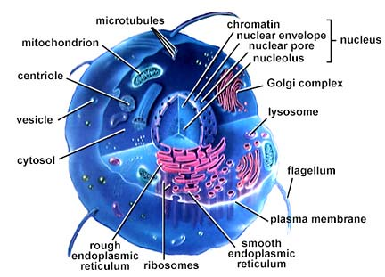eukaryotic-cell-structure-diagram-858