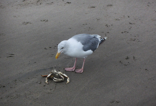 seagulls and crab on Ocean Beach, San Francisco (2012)