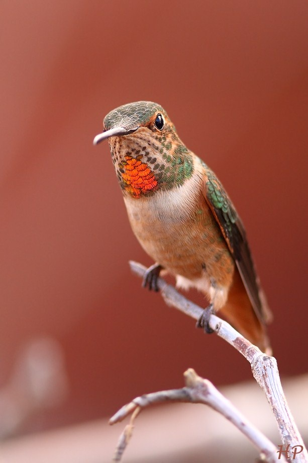 Allen's Hummingbird 011813-2