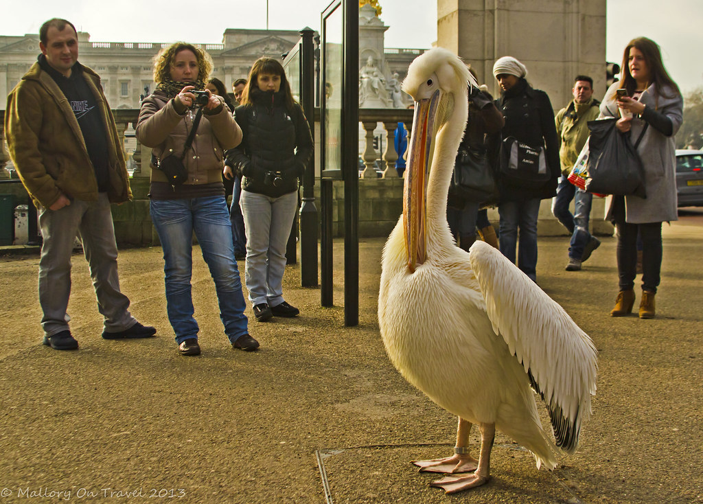 A Pelican model posing for his admirers in St James's Park on Pall mall in London, United Kingdom on Mallory on Travel, adventure, adventure travel, photography  Iain Mallory-300-32