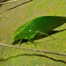 Small photo of Katydid (Tettigoniidae)