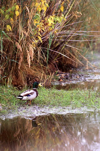 A male mallard walks on a vegetation buffer beside a stream. Wetland and streamside vegetation serves as a buffer to filter excess nutrients from water running off agricultural land. USDA photo by Scott Bauer.
