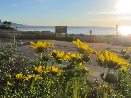 coreopsis at point dume