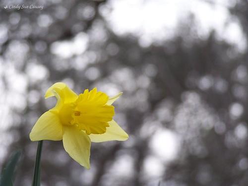 flower macro nature yellow georgia effects bokeh background amaryllis daffodil northgeorgia narcissus photochallenge pickenscounty kodakz740 talkingrock dpsbokeh