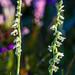 Autumn Lady's Tresses (Spiranthes spiralis)