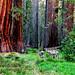 Deer amongst Giant Sequoias