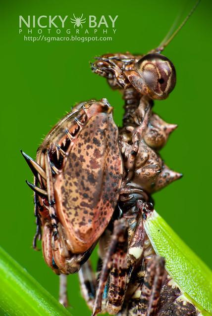 Pachymantis bicingulata - DSC_1562