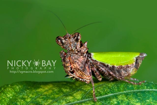 Pachymantis bicingulata - DSC_1528