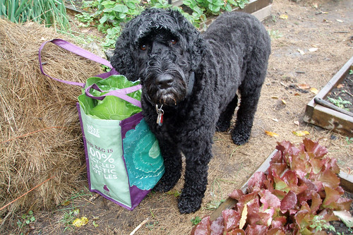 Skippy and my harvest bag 2