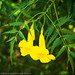 Yellow Bells II