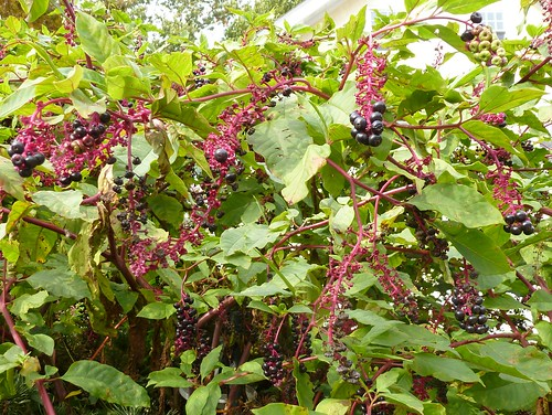 Plenty of pokeweed