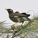 Small photo of Common Myna Acridotheres tristis