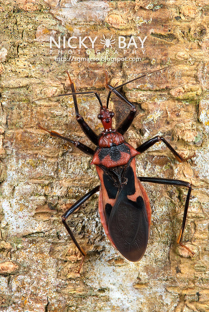 Assassin Bug (Reduviidae) - DSC_7574