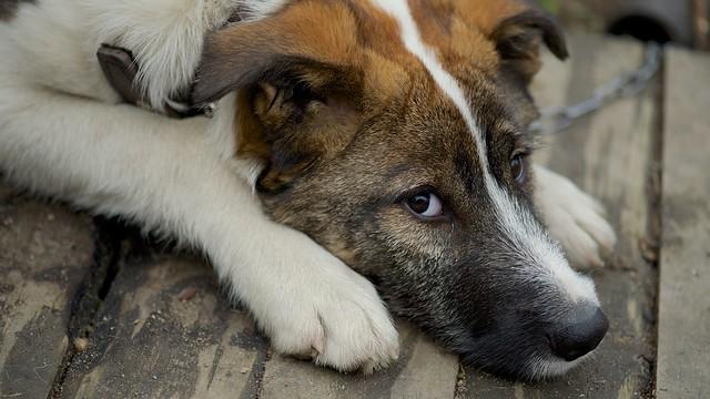 фото грустный пёс