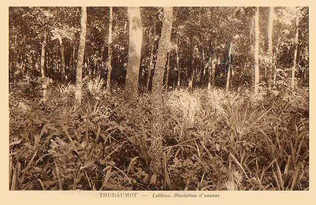 THUDAUMOT - LAITHIEU.  PLANTATION D'ANANAS
