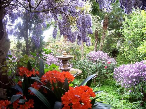 pat's wisteria & clivia & fountain