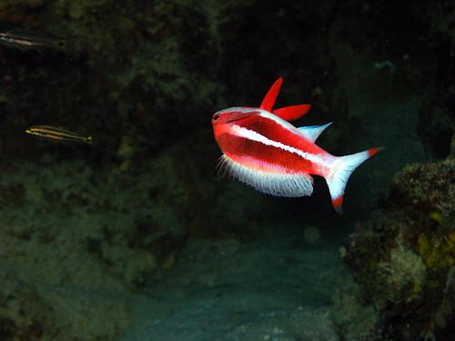 Anthias de mer Rouge de Plongez-Pépère, sur Flickr
