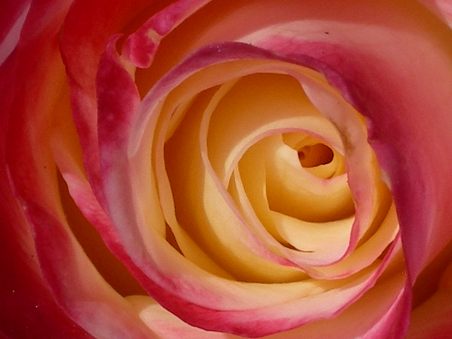 Rose Layers