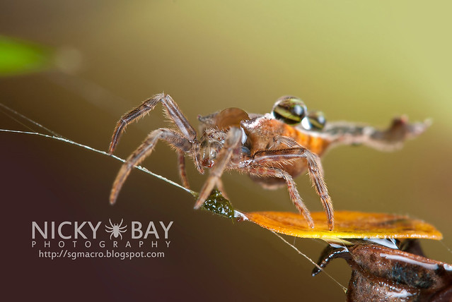 Scorpion-tailed Orb Weaver (Arachnura sp.) - DSC_4605