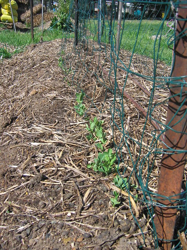 Peas are up - Spring 2012