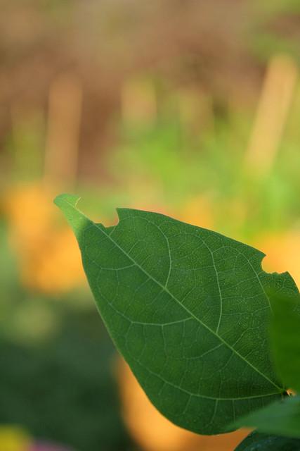 mexico-leaf