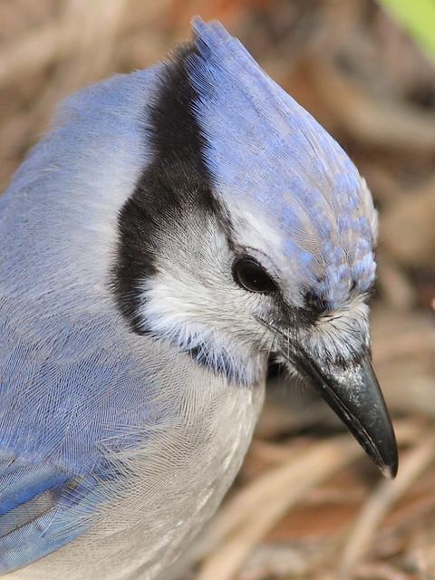 Blue Jay portrait 20121021