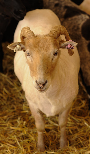 Sheep-5968