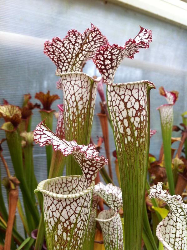 Les peut être dernière photos de leucophylla de 2012 8114670486_817267df1d_c