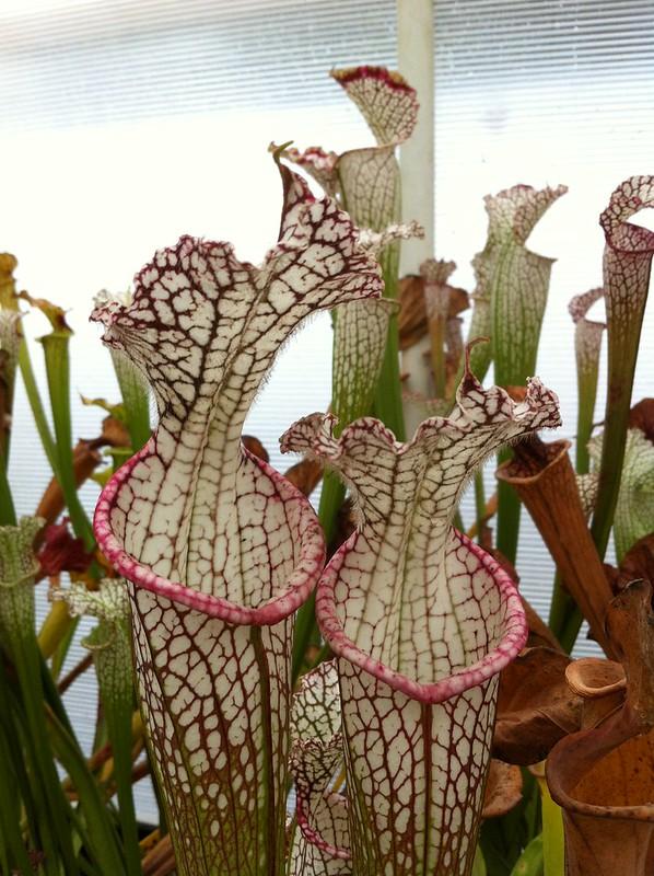 Les peut être dernière photos de leucophylla de 2012 8114676560_af67191340_c