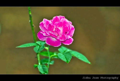 Rose  by Jidhu Jose