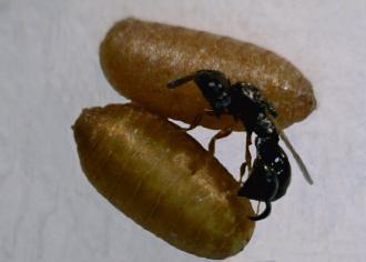 格氏突闊小蜂寄生東方果實蠅的蛹。(圖片來源:苗栗區農業改良場)