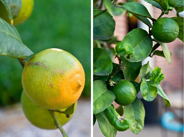 Meyer Lemons and Key Limes