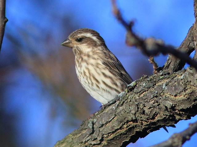 Purple Finch 2-20121025