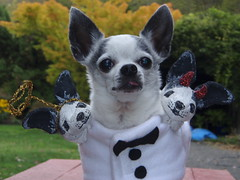 Funny pet costumes, Three-Headed Chihuahua