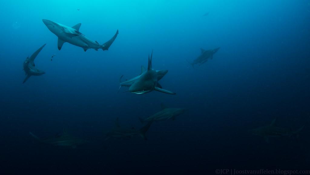 Tiburones puntas negras