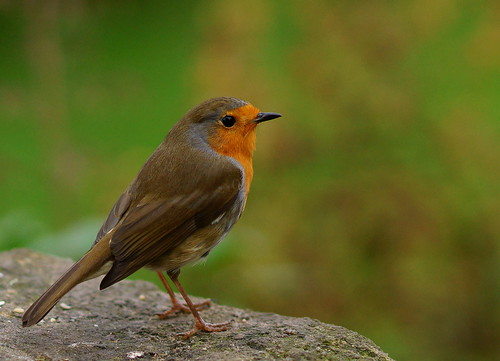 Forest How Robin