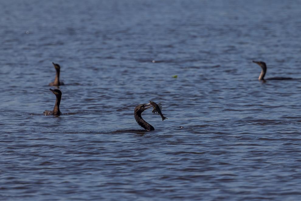 Varios  mbiguas (Phalacrocorax brasilianus) se encuentran pescando en el Río Negro. El mbiguá también es conocido como biguá, cormorán, cormorán negro, cuervo de mar, yeco, pato yeco, Pato cuervo o patillo. (Tetsu Espósito)