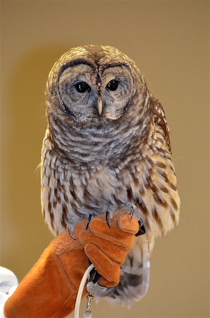 Barred Owl | Sharp talons! | By: KKfromBB | Flickr - Photo ...