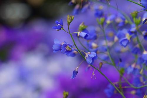 ヘリオフィラ・ロンギフォリア/Heliophila longifolia