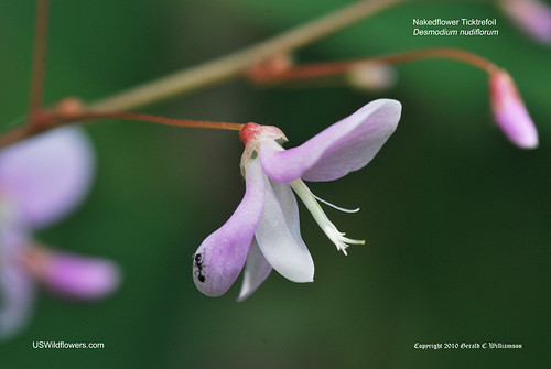Nakedflower Ticktrefoil - Desmodium nudiflorum by USWildflowers, on Flickr
