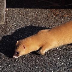 polecat(0.0), ferret(0.0), animal(1.0), weasel(1.0), mustelidae(1.0), mammal(1.0), fauna(1.0), marten(1.0), mink(1.0), wildlife(1.0),