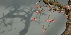 Ume Bonsai and Shadow