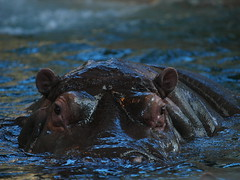 Hippopotamus at Calgary Zoo