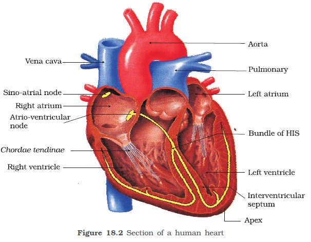 Ncert class xi biology chapter 18 body fluids and circulation a bicuspid or mitral valve guards the opening between the left atrium and the left ventricle the openings of the right and the left ventricles into the ccuart Images