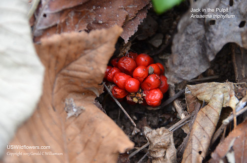 Jack-in-the-Pulpit fruit - Arisaema triphyllum by USWildflowers, on Flickr