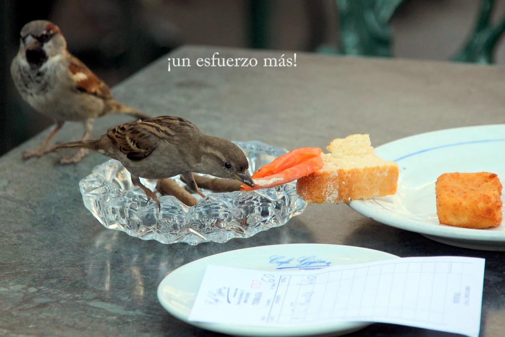 Los gorriones del Café Gijón, también pican salmón