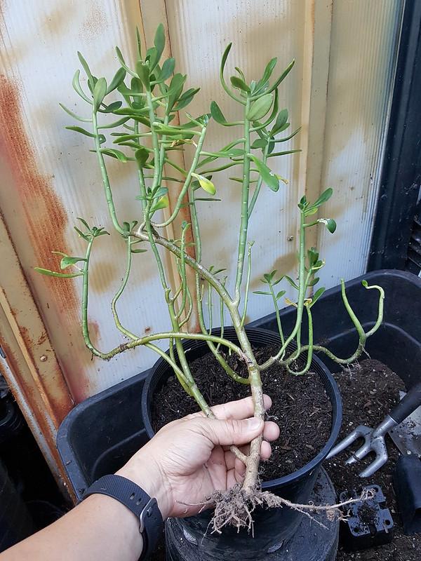 Unknown Succulent