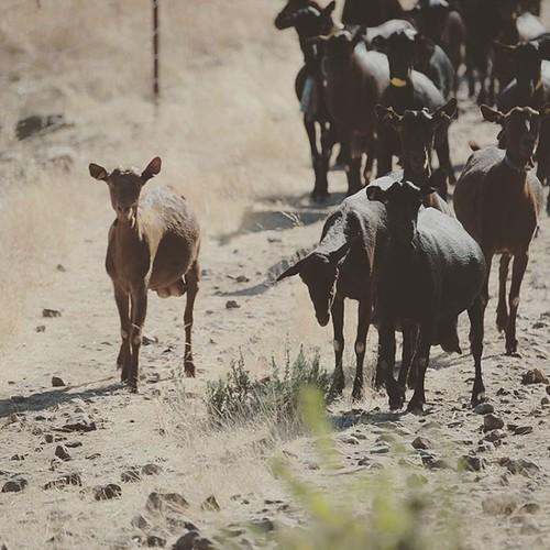Somos un obstáculo en vuestro camino! #cabras #cabritos #machocabrio #alcoba #castillalamancha #igersciudadreal