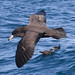 Small photo of Black Petrel (Procellaria parkinsoni)